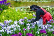 稲本:花がら摘み・白鷺公園